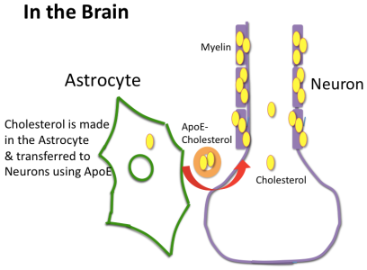Brain Cholesterol Metabolism