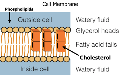 Cholesterol in membrane