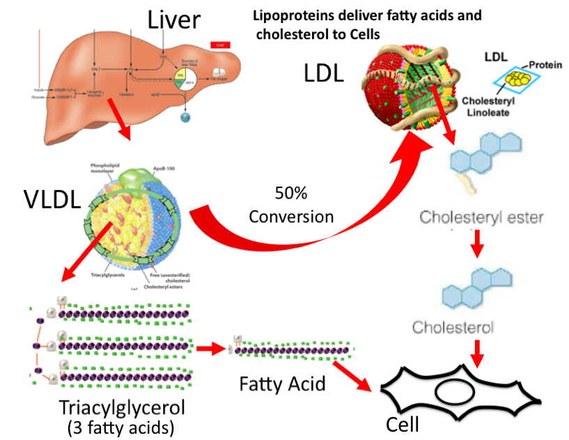 Science Unintended Consequences Ancel Keys Cholesterol And The Transition To An Obese Society Part Viii Goldstein And Brown The White Knights Of Cholesterol Metabolism