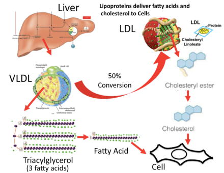 VLDL and LDL in blood FN