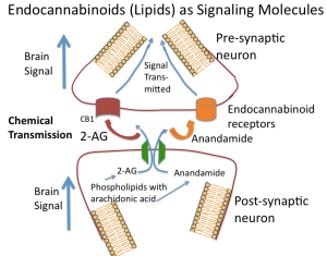 Endocannabinoid Signaling at Membrane