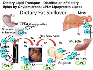 Chylomicron Metabolism spillover